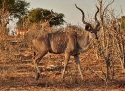 kudu-4505-botswana-copyright-photographers-on-safari