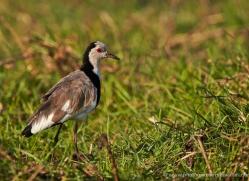 long-toed-plover-4542-botswana-copyright-photographers-on-safari