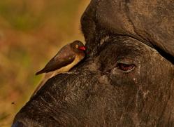 oxpecker-4531-botswana-copyright-photographers-on-safari