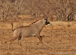 roan-antelope-4580-botswana-copyright-photographers-on-safari