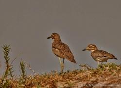 thicknee-4586-botswana-copyright-photographers-on-safari