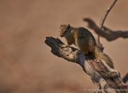 tree-squirrel-4550-botswana-copyright-photographers-on-safari
