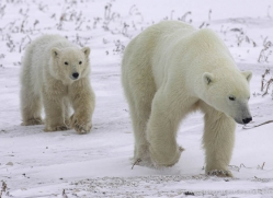 polar-bear-965-cape-churchill-copyright-photographers-on-safari-com