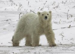 polar-bear-966-cape-churchill-copyright-photographers-on-safari-com