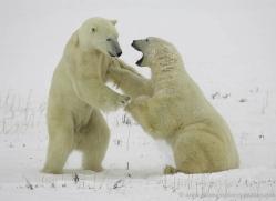 polar-bear-983-cape-churchill-copyright-photographers-on-safari-com