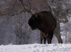bison-4230-capercaille-copyright-photographers-on-safari-com