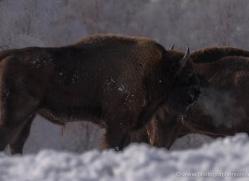 bison-4231-capercaille-copyright-photographers-on-safari-com