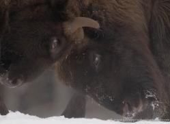 bison-4233-capercaille-copyright-photographers-on-safari-com