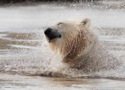 polar-bear-4247-capercaille-copyright-photographers-on-safari-com