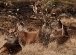 red-deer-4242-capercaille-copyright-photographers-on-safari-com