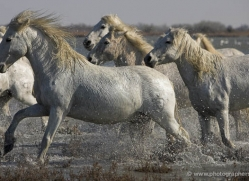 camargue-white-horses1125-camargue-copyright-photographers-on-safari-com