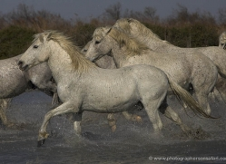 camargue-white-horses1128-camargue-copyright-photographers-on-safari-com