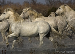 camargue-white-horses1131-camargue-copyright-photographers-on-safari-com