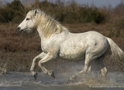 camargue-white-horses1135-camargue-copyright-photographers-on-safari-com