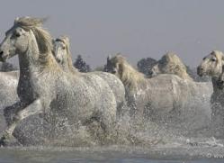 camargue-white-horses1142-camargue-copyright-photographers-on-safari-com