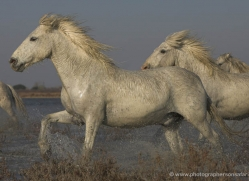 camargue-white-horses1148-camargue-copyright-photographers-on-safari-com