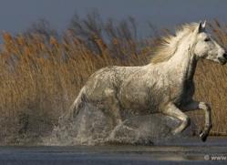camargue-white-horses1149-camargue-copyright-photographers-on-safari-com