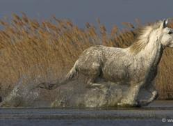camargue-white-horses1150-camargue-copyright-photographers-on-safari-com