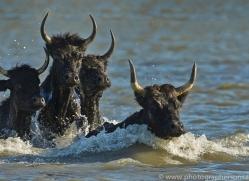 Black Bulls 2015 -1copyright-photographers-on-safari-com