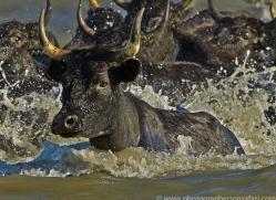 Black Bulls 2015 -2copyright-photographers-on-safari-com
