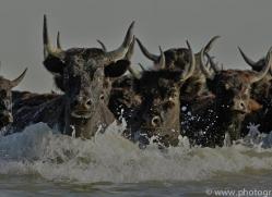 Black Bulls 2015 -4copyright-photographers-on-safari-com