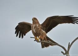 Black Kite 2015-9copyright-photographers-on-safari-com