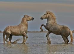 Camargue Horses 2015 -13copyright-photographers-on-safari-com