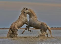 Camargue Horses 2015 -14copyright-photographers-on-safari-com