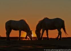 Camargue Horses 2015 -15copyright-photographers-on-safari-com