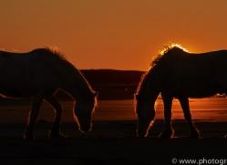 Camargue Horses 2015 -16copyright-photographers-on-safari-com