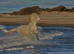 Camargue Horses 2015 -19copyright-photographers-on-safari-com