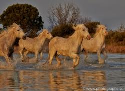Camargue Horses 2015 -1copyright-photographers-on-safari-com