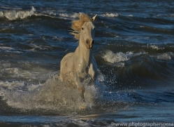 Camargue Horses 2015 -20copyright-photographers-on-safari-com