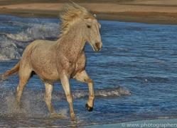 Camargue Horses 2015 -21copyright-photographers-on-safari-com