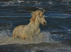 Camargue Horses 2015 -24copyright-photographers-on-safari-com