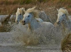 Camargue Horses 2015 -28copyright-photographers-on-safari-com