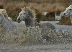 Camargue Horses 2015 -29copyright-photographers-on-safari-com