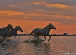 Camargue Horses 2015 -2copyright-photographers-on-safari-com