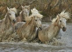 Camargue Horses 2015 -32copyright-photographers-on-safari-com