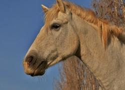 Camargue Horses 2015 -34copyright-photographers-on-safari-com