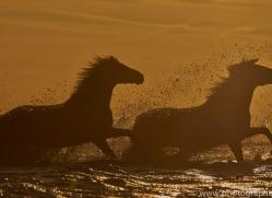 Camargue Horses 2015 -39copyright-photographers-on-safari-com