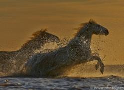 Camargue Horses 2015 -40copyright-photographers-on-safari-com