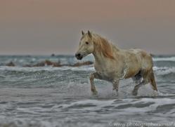 Camargue Horses 2015 -4copyright-photographers-on-safari-com