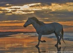 Camargue Horses 2015 -51copyright-photographers-on-safari-com