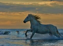 Camargue Horses 2015 -53copyright-photographers-on-safari-com