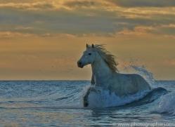 Camargue Horses 2015 -54copyright-photographers-on-safari-com
