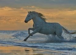 Camargue Horses 2015 -55copyright-photographers-on-safari-com