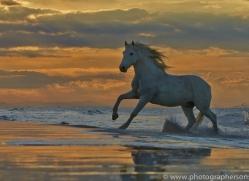 Camargue Horses 2015 -56copyright-photographers-on-safari-com