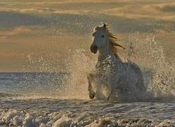 Camargue Horses 2015 -57copyright-photographers-on-safari-com