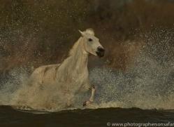 Camargue Horses 2015 -60copyright-photographers-on-safari-com